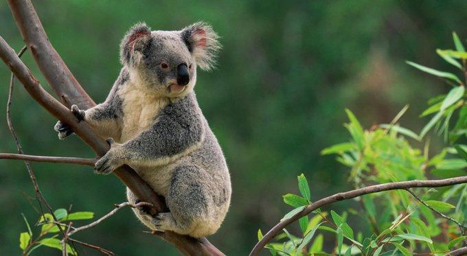 Австралийский министр объяснила уничтожение коал «избавлением от страданий»