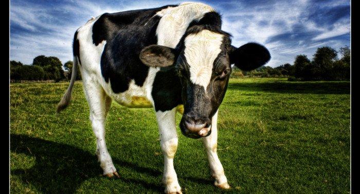 «Мама, яне хочу есть коровку!»