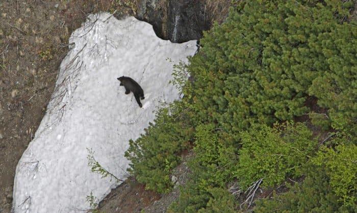Бурый медведь на снежнике. Фото Сергея Фомина