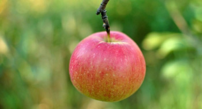 Божье яблоко