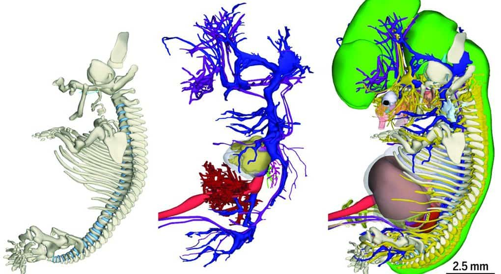 Голландские ученые показали в 3D развитие эмбриона человека