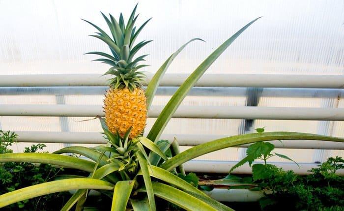 Валаамские монахи выращивают… ананасы!