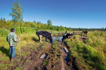 Монастырский пастух Василий выгоняет коров на поле