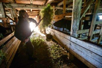 Раздача сена коровам перед дойкой