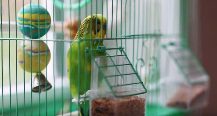 Волнистый попугай на Валааме научился Иисусовой молитве