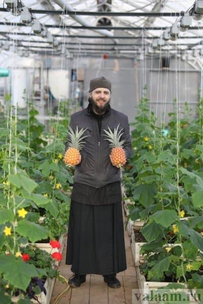 На заснеженном Валааме монахи собрали очередной урожай ананасов