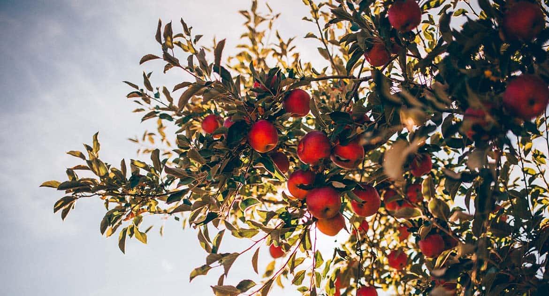 Можно ли сажать плодовые деревья на могилах?