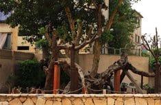 В Коптской Церкви опровергли информацию об уничтожении «Дерева Марии» в пригороде Каира